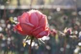 Rose im Morgenlicht, Morgensonne