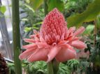 Fleischfarbene Blüte