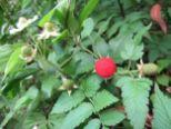 Eine rote Beere am Wegrand