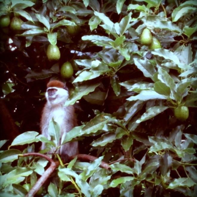 Leckere Avocados mopsen