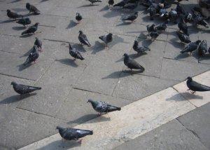 Tauben auf dem Marktplatz