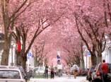 Die Strassen in der Bonner Altstadt werden mit der Kirschblüte zu rosa Tunneln