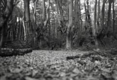 Waldboden bei den Kopfbuchen im Kottenforst