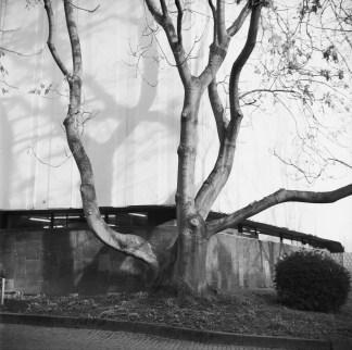 Feine Rinde, Baum und Schatten an der Oper in Bonn