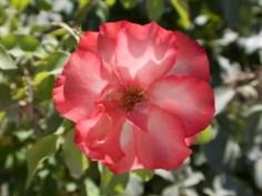 Rot-Weiße Blüte im Sommer
