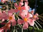 Rosa Blüte im Sommer