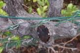 Über die Jahre ist der Ast fest mit dem Zaun verwachsen