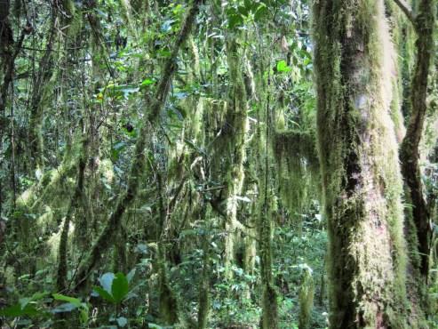 Bemooste Bäume und Sträucher im Nebelwald in Äthiopien