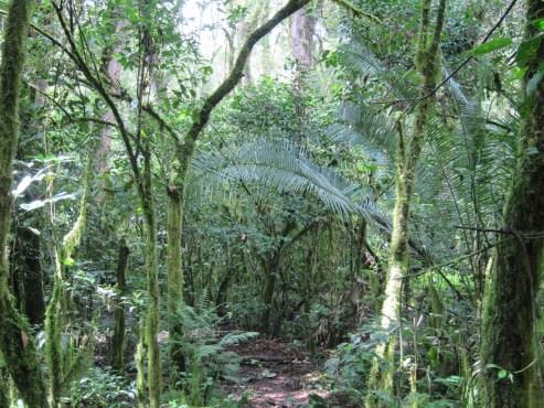 Ein kleiner Pfad im Nebelwald in Äthiopien