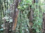 Flechten auf einem alten Bambushalm in Kaffa