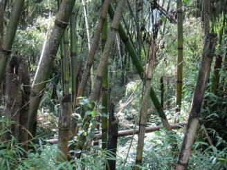 Umgeknickte Halme im Bambuswald in Äthiopien