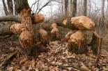 Der Biber mag die Bäume auch sehr gerne und kann das Waldbild stark verändern.