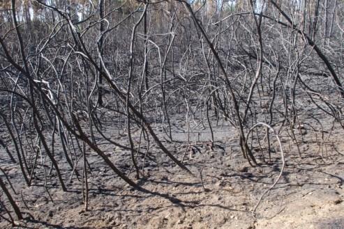 Verbranntes Unterholz nach dem Waldbrand.