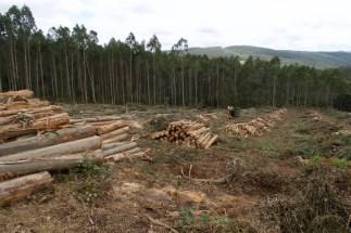Gerodeter Eukalyptuswald in Spanien.