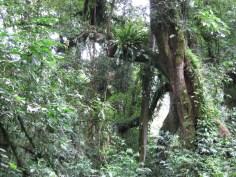 Ein alter Baum im Mankira Forest, Äthiopien