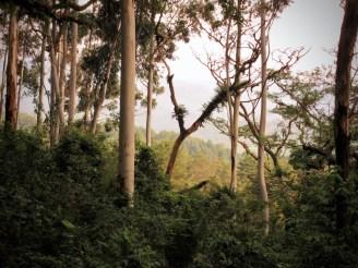 Eukalyptus im Abendlicht