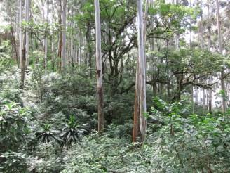 Die hohen silbrigen Stämme des Eukalyptus verändern den ganzen Wald