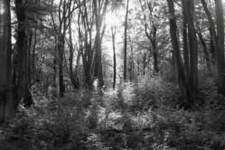 Bäume Kottenforst - Am Grün kann man den Infrarot Film erkennen