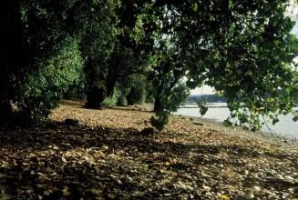 Alte große Bäume und entspannter Kiesstrand am Rheinufer bei Oberkassel