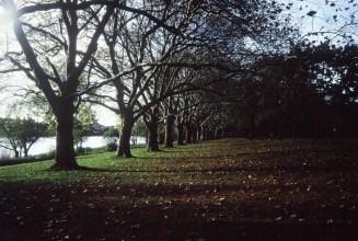 Herbstliche Platanenallee in Beuel