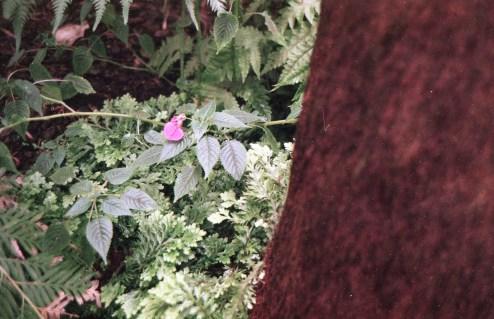 Rosa Blüte im Farnhaus