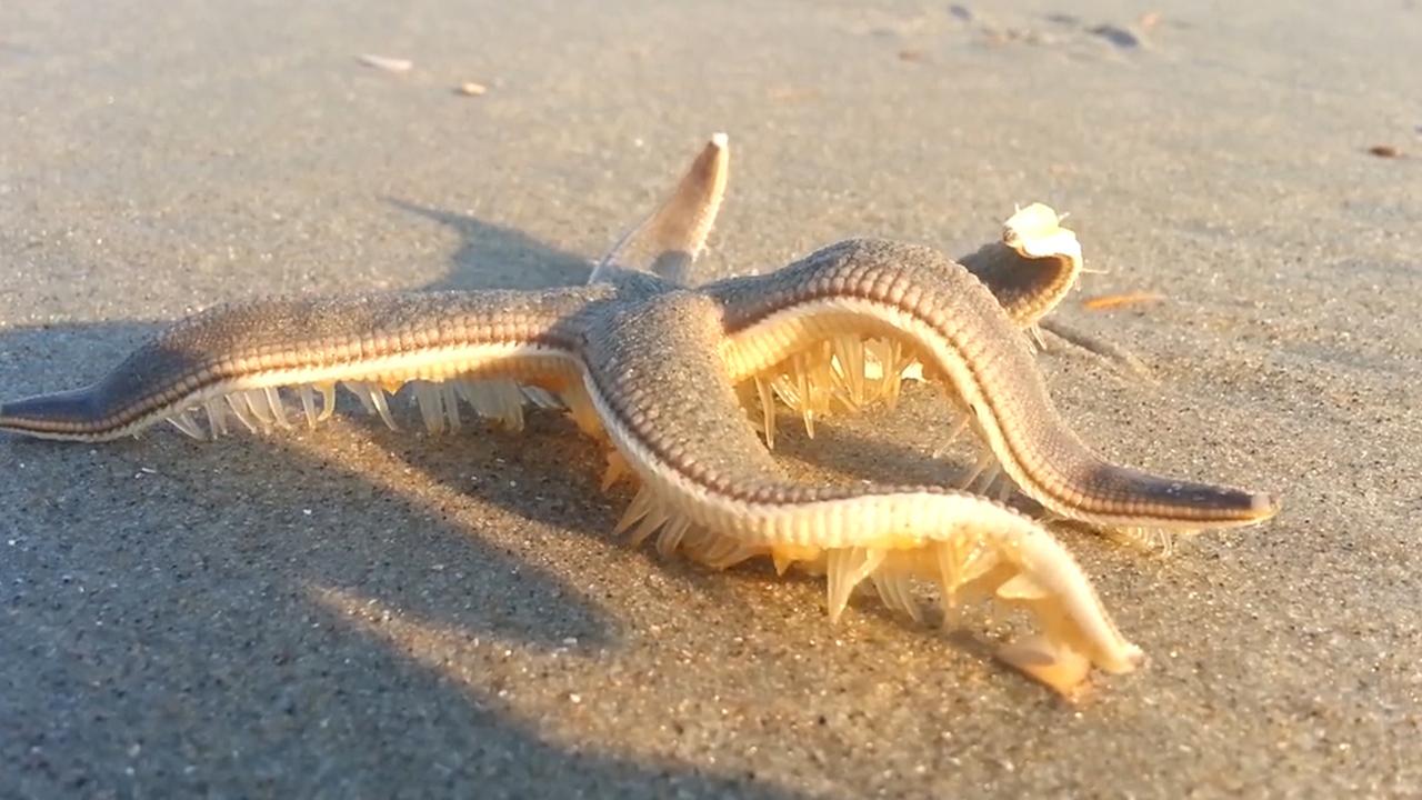incredible moment starfish walks