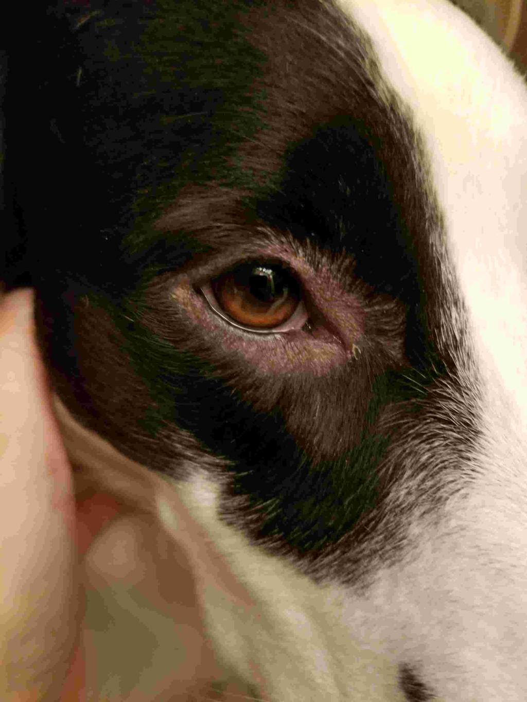 Why Is My Dog Losing Hair Around His Eyes : losing, around, Hello., Noticed, Chester, Losing, Around, Eyes., Acting, Otherwise-eating, And..., PetCoach