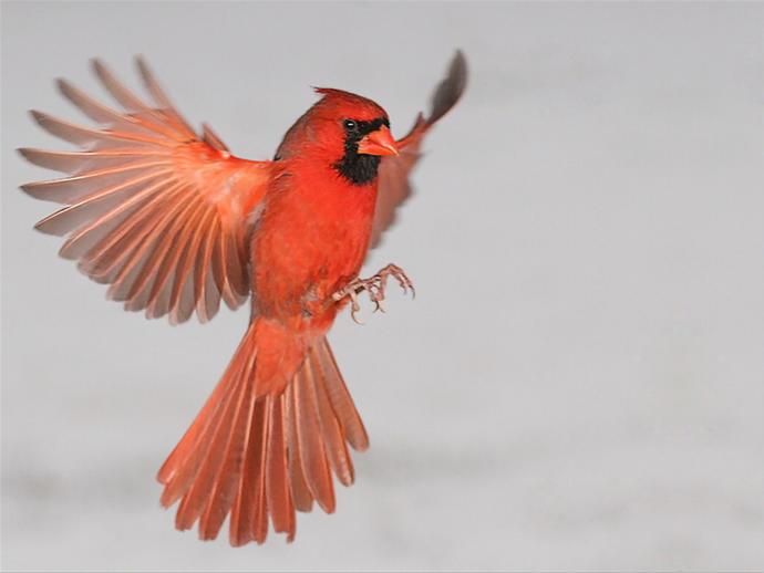 Symbolism Female Cardinal