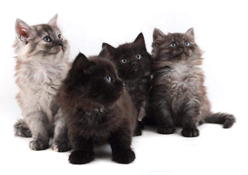 Cute Little Gray Cat For Wallpaper Pictures Of Cute Fuzzy Kittens Slideshow