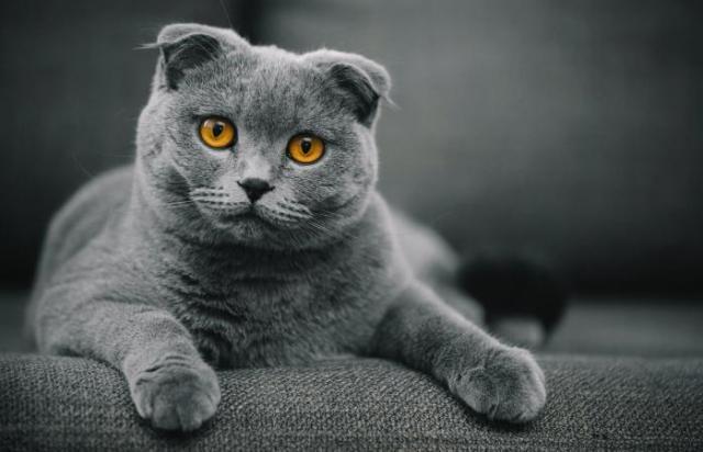 Hasil gambar untuk The Scottish Fold Cat