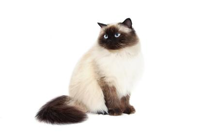 What Does A Half Persian Cat Look Like