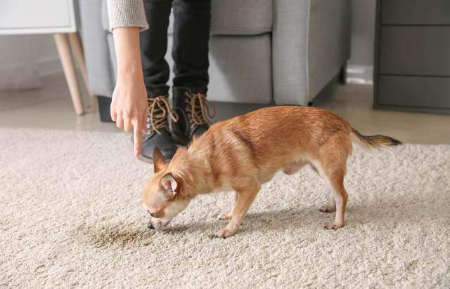 How to Remove Pet Stains on Carpets Easily  LoveToKnow