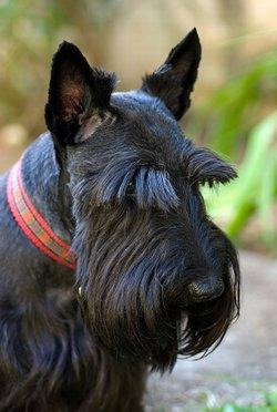 Scottish Terriers LoveToKnow