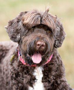 Portuguese Water Dog Brown And White : portuguese, water, brown, white, Spotlight, Portuguese, Water, LoveToKnow