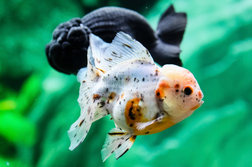 medium resolution of feng shui advice for the lucky number of fish in a tank