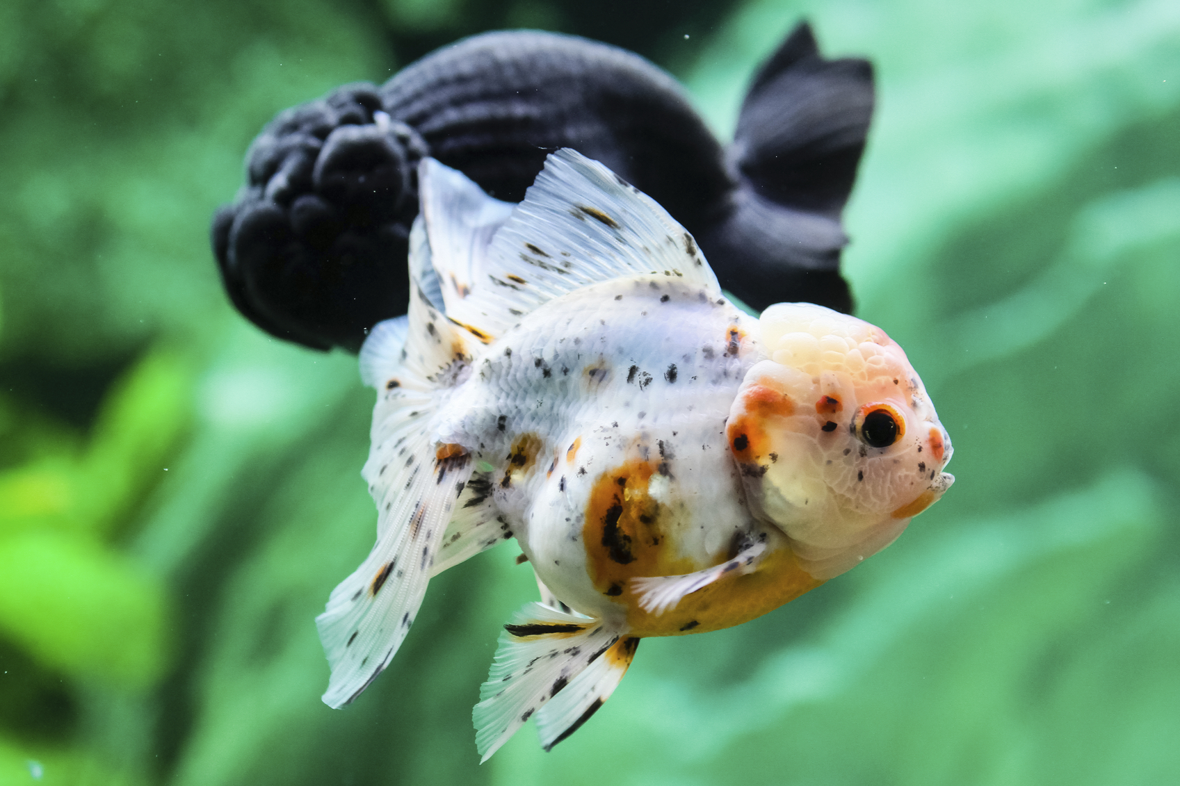 hight resolution of feng shui advice for the lucky number of fish in a tank