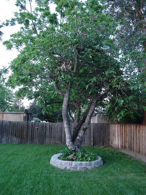 fig tree lovetoknow