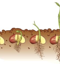 plant seed germination diagram [ 2019 x 1485 Pixel ]