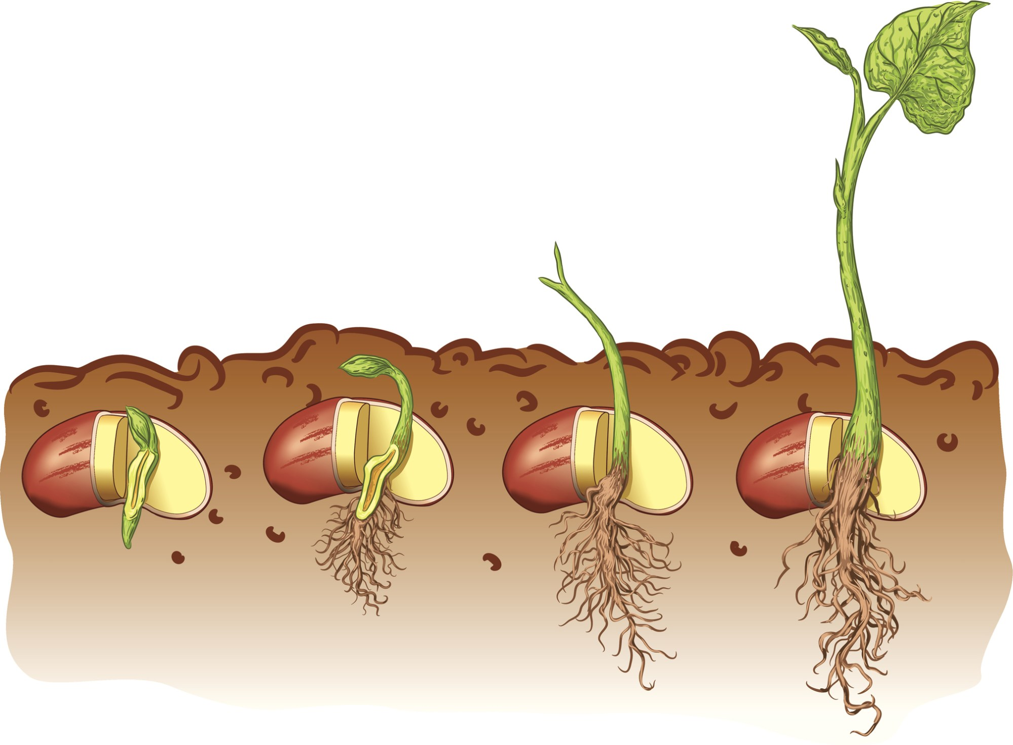 hight resolution of plant seed germination diagram