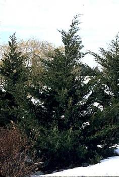 Trimming Hollywood Juniper Trees