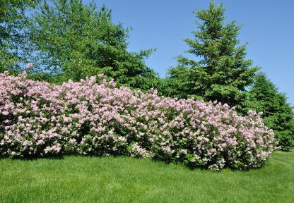 shrubs privacy lovetoknow