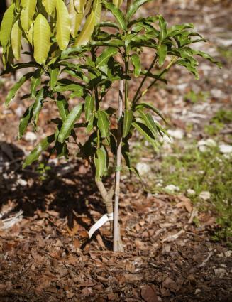 Grafting Fruit Trees Step By Step LoveToKnow