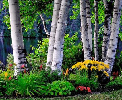 birch trees lovetoknow