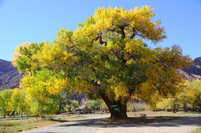 What Are Cottonwood Trees Used For