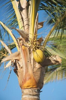 Where Do Coconuts Come From  LoveToKnow