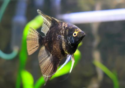 Very dark marbled angelfish; copyright Vitalyedush at Dreamstime.com