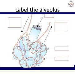 Lung Alveoli Diagram Wiring For Electrolux Caravan Fridge Ks4 Biology The Breathing System презентация онлайн