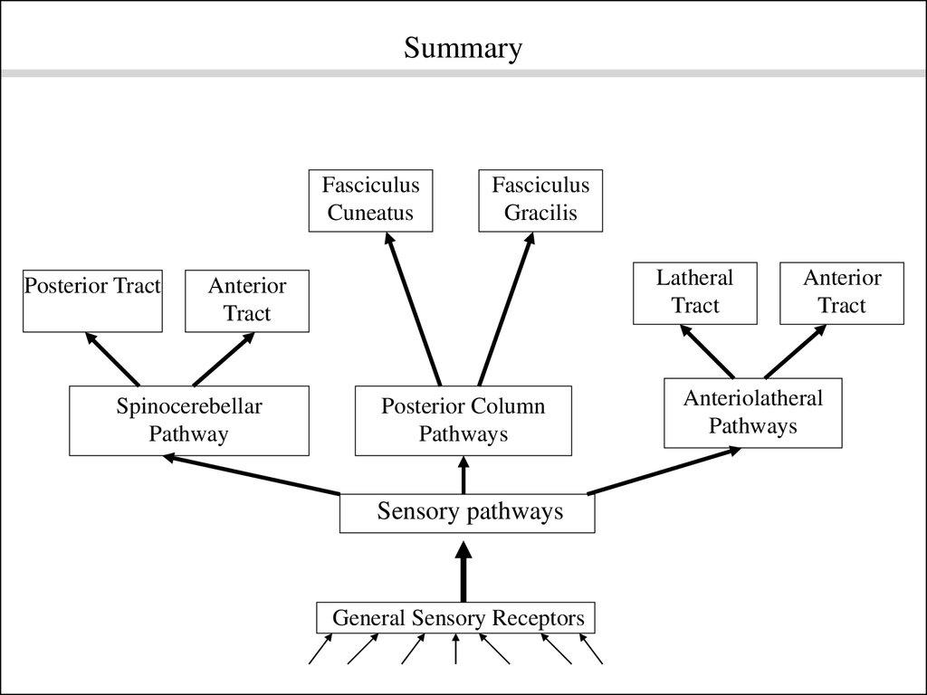 hight resolution of pathway posterior column pathways sensory pathways general sensory receptors anterior tract anteriolatheral pathways