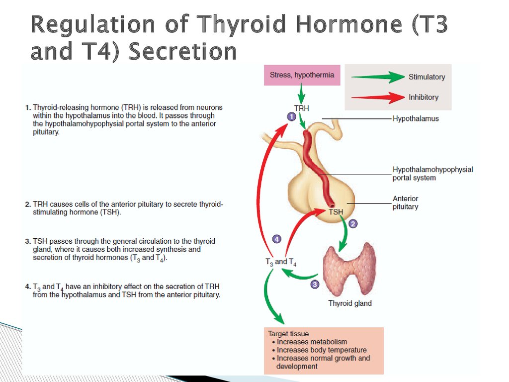 The Hormonal Regulation Of The Body