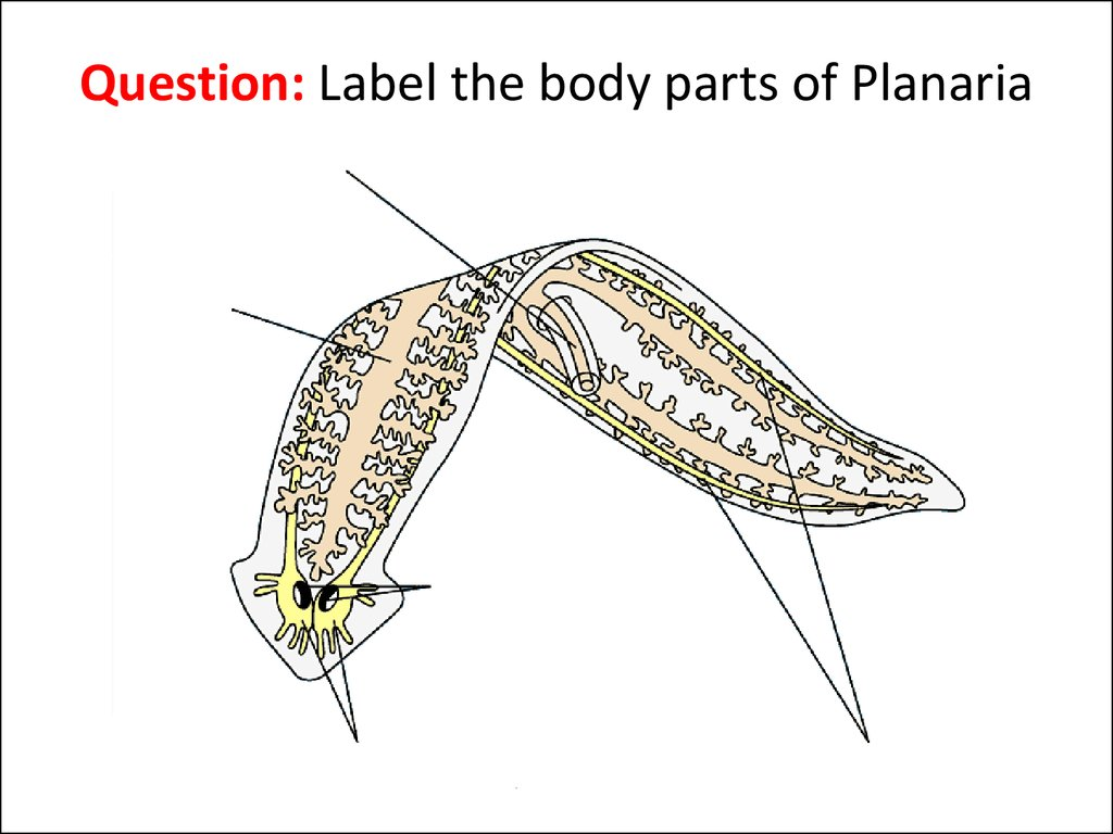 human respiratory system diagram labeled stihl fs 44 parts topic: flatworms - online presentation